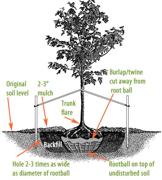 Tree Planting Guide  U0026 Faqs